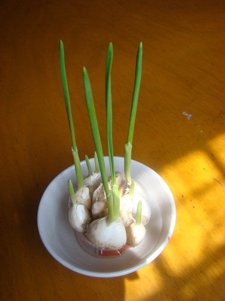 大蒜生长过程卡通图片